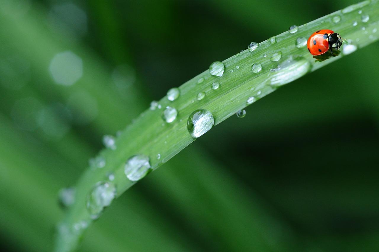 ladybug water droplet